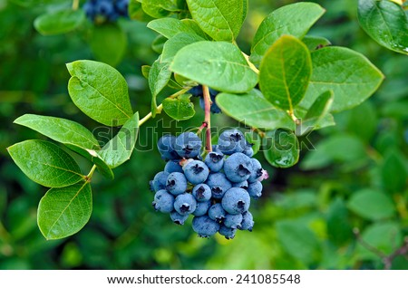 blueberry cluster on a bush - stock photo