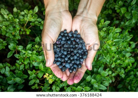 blueberry crop in hand, close-up of blueberries and blueberry mountain wildlife - stock photo