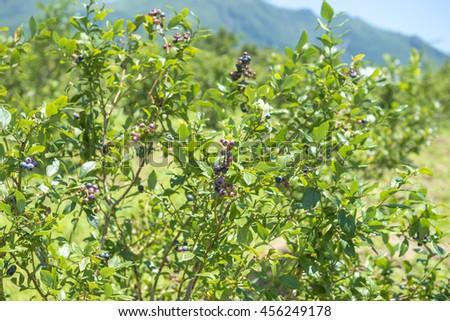 Blueberry field - stock photo