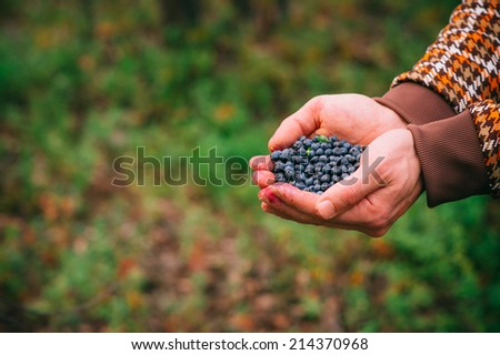 Blueberry fresh picked organic berries food in man hands Healthy Lifestyle northern forest recreation - stock photo