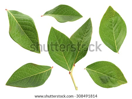 Blueberry leaf collection isolated on white - stock photo