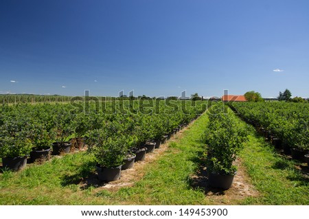 Blueberry plantation for self-picking  - stock photo