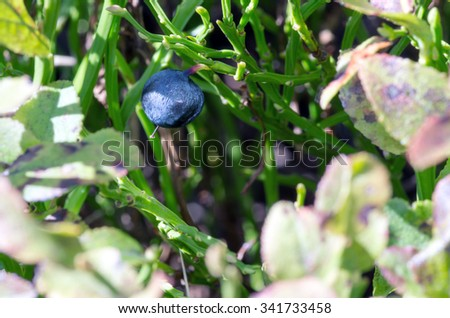 Blueberry twig, blueberry bush in a garden in summer time. Macro perspective, background. Fresh fruits.  - stock photo