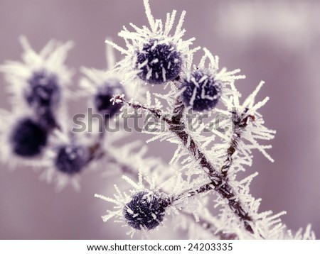 blueberry twigs under fluffy snow
