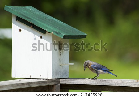 Bluebird checking out ants near his house. - stock photo
