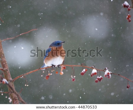 Bluebird in berry tree in a snowstorm