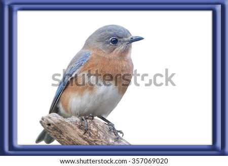 Bluebird Isolated on White Background - stock photo