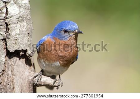 Bluebird Perched on Tree - stock photo