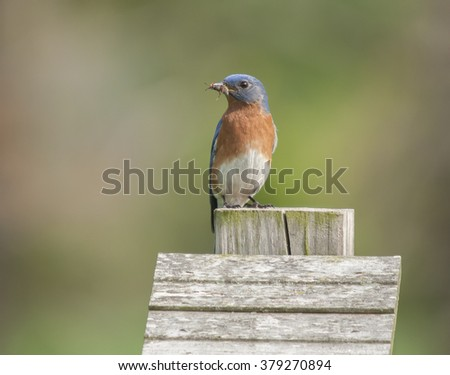 Bluebird With Wasp/An Eastern Bluebird,Sialia sialis, holding a wasp in its beak. - stock photo