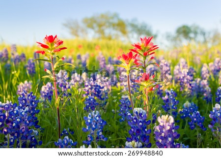 Bluebonnets and Indian paintbrushes bathed in late afternoon light - stock photo