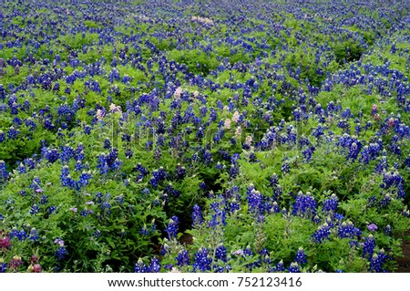 Bluebonnets at Lady Bird Johnson Wildflower Center near Austin