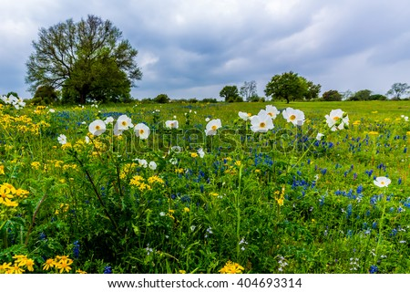 Bluebonnets, White Poppies, Yellow Cut Leaf Groundsel, and other Texas WIldflowers in a Texas Pasture. - stock photo