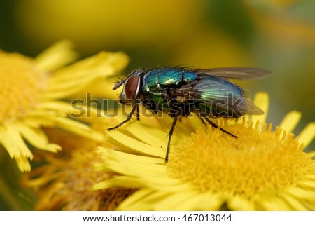 Bluebottle fly, Bottlebee, Calliphora vomitoria