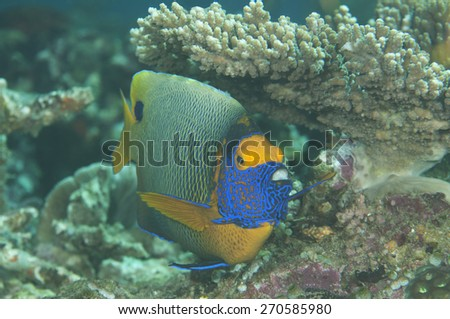 Blueface angelfish or the yellowface angelfish, Pomacanthus xanthometopon, Bunaken, Sulawesi,Indonesia