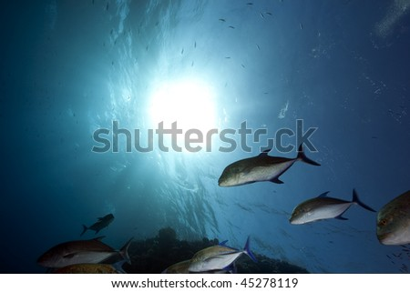 bluefin trevally and ocean