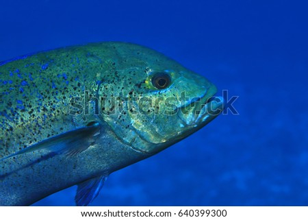 Bluefin trevally fish (Caranx melampygus) underwater in tropical waters of the indian ocean