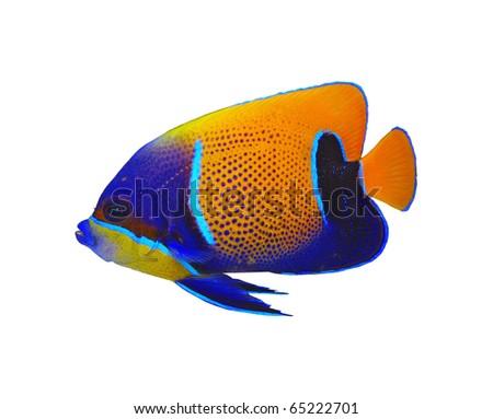 Bluegirdled angelfish Pomacanthus navarchus - stock photo