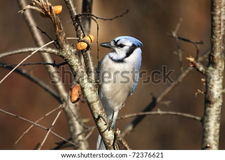 Bluejay Cyanocitta cristata - stock photo