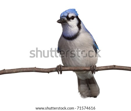 bluejay gazes into the distance as it relaxes on a branch. straight on view, head tilted to side breast and underside of tail in full view. bluejay perched on a branch with a white background - stock photo