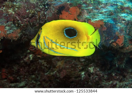 Bluelashed butterflyfish (Chaetodon bennetti) in the coral reef