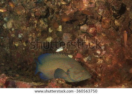 Bluelined Grouper fish - stock photo