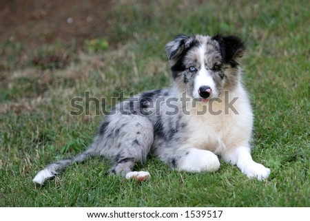 Bluemerle border collie puppy watching