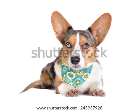 Bluemerle Cardigan Welsh Corgi in bandana