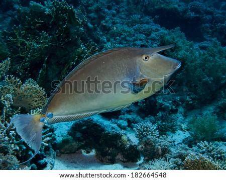 Bluespine unicornfish (naso unicornis) - stock photo