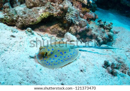 Bluespotted ribbontail ray, feeding on the seabed, Red Sea, Egypt. - stock photo