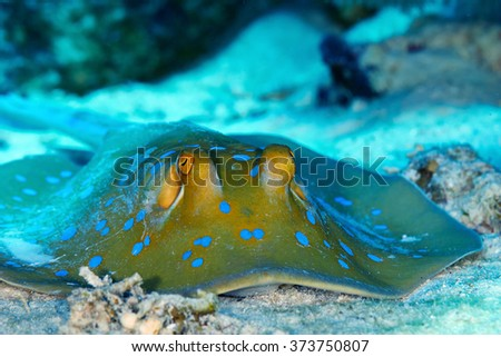 Bluespotted ribbontail ray (Taeniura lymma) clouse up view, in the Red Sea, Egypt.
