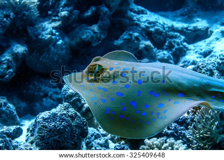 Bluespotted stingray floatin underwater over corals. Red sea fish. Closeup portrait. - stock photo