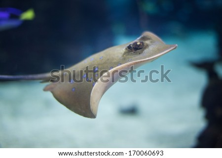 Bluespotted Stingray) swimming in the deep
