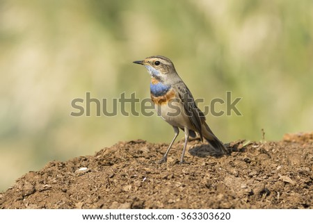 Bluethroat Bird in Bahrain