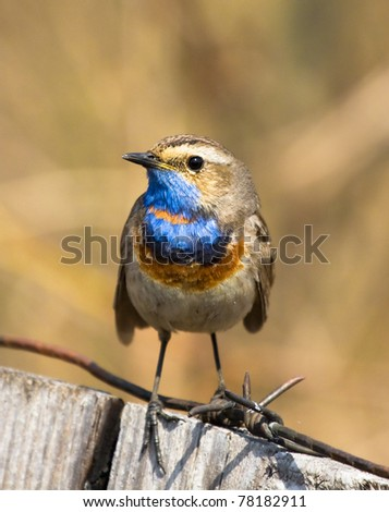 Bluethroat sits on the fence