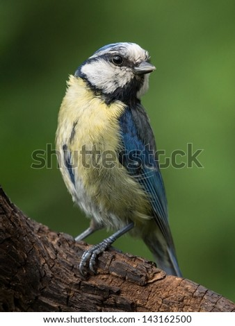Bluetit perched on a branch turning its head - stock photo