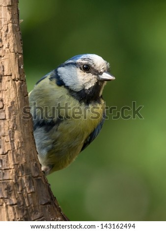 Bluetit perched on a vertical branch in sunlight - stock photo