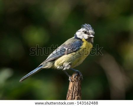 Bluetit perched on the tip of a vertical branch - stock photo