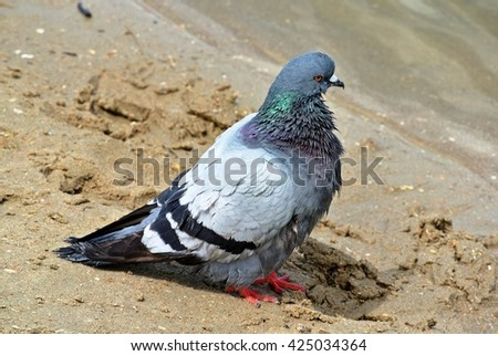 Bluish wild pigeon dries on the yellow sand after a swim in the river shallows - stock photo