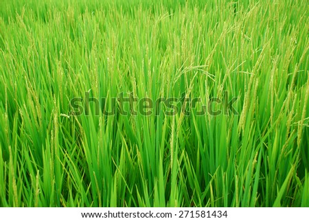 blur background of rice fields in green light color are nearly to be harvested. - stock photo