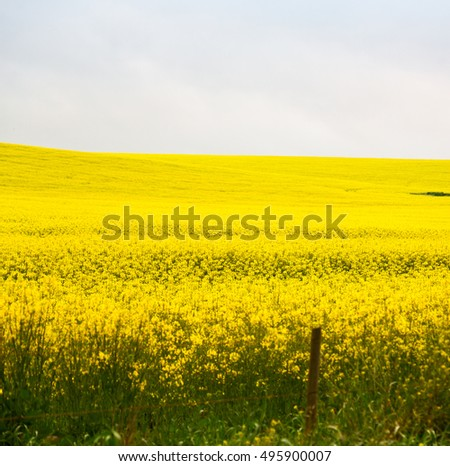 blur in south africa close up of the colza yellow field like   texture background