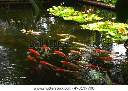 Beautiful hardy water lily lotus flower stock photo for Hardiest pond fish