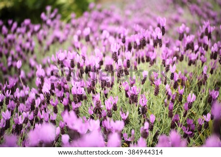 Blur lavender flower for background use. Summer concept. - stock photo