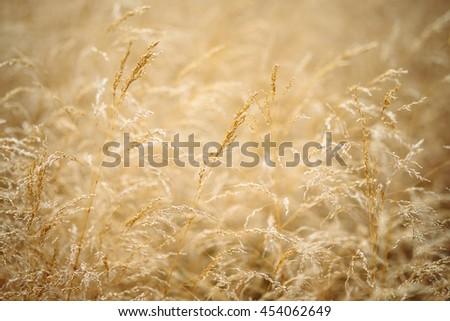 dry grass field background. Blur Nature Oats Field Grow Background. Soft Background Dry Grass Nature. Closeup Wheat O