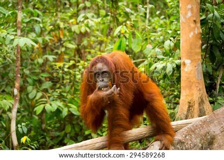 Blur photo of wild orangutan at Borneo forest Indonesia - stock photo