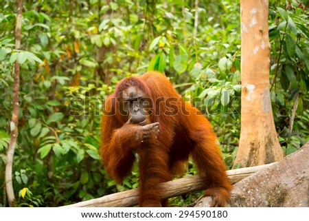 Blur photo of wild orangutan at Borneo forest Indonesia - stock photo