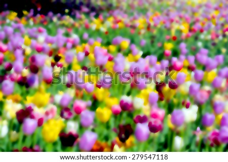 Blur tulips field is a perennial, bulbous plant with showy flowers in the genus Tulipa, of which up to 109 species - stock photo