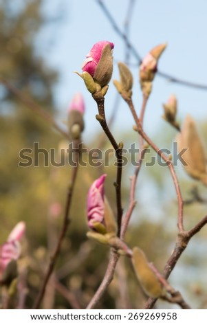 Blurred background image flowers and flower buds of magnolia tree. Spring flowers on a magnolia tree in pink and white. Morning sunlight in the spring park. Spring background for text. Pink and white. - stock photo