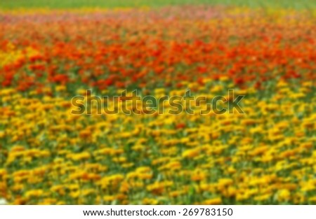 Blurred background of a field of Marigold flowers (Tagetes Patula) in various colors. - stock photo