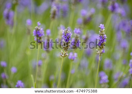 Blurred background of lavender flowers