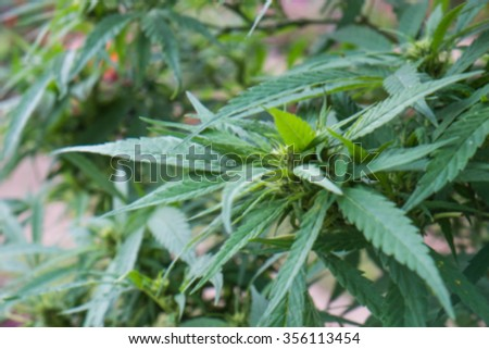 Blurred cannabis cluster and leaves